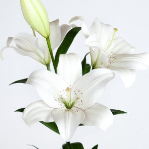 L.A. Hybrid and Asiatic Lilies